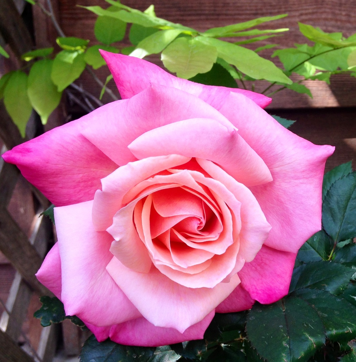 Dare to Be Present Rose