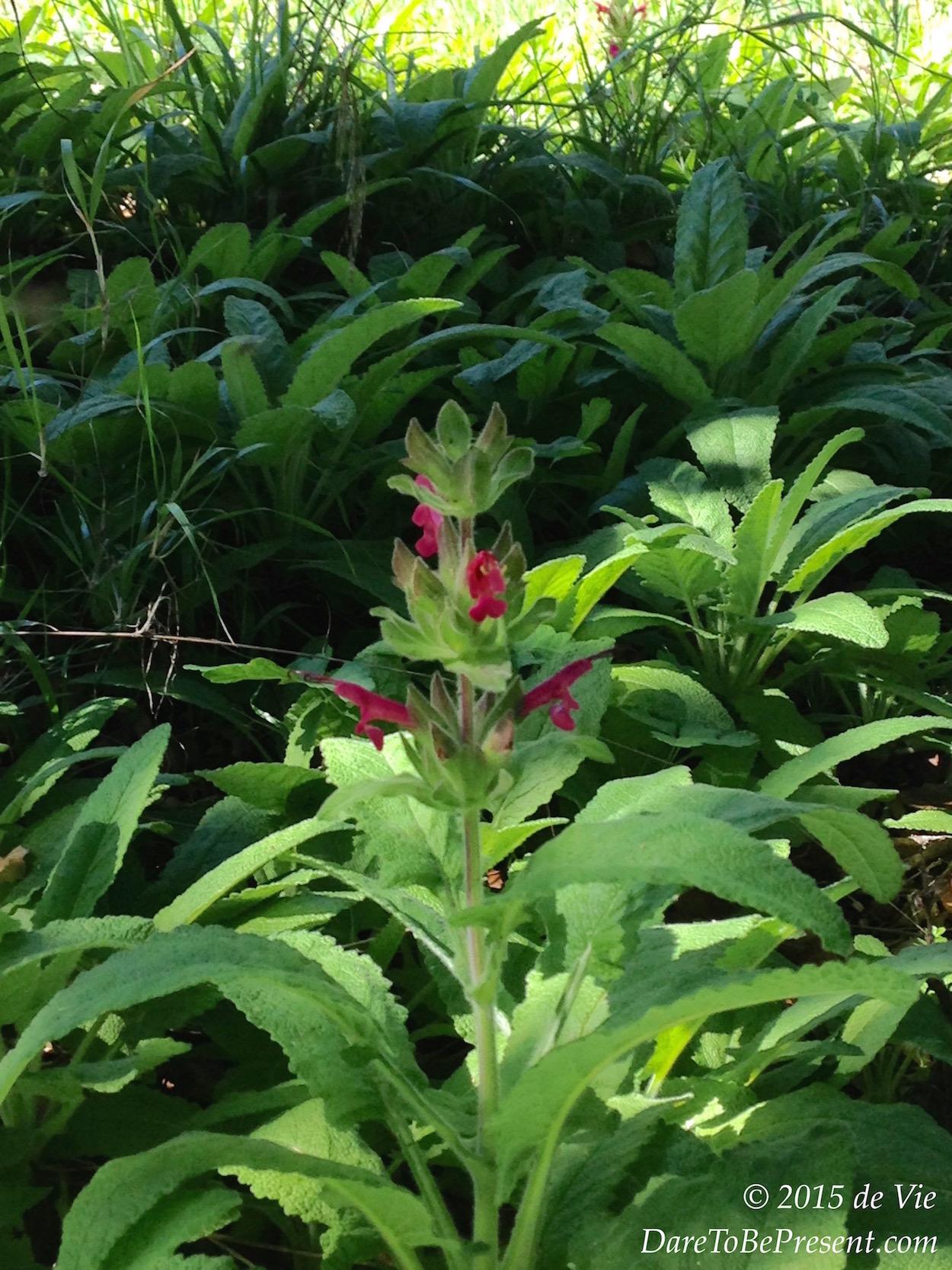 dark pink hummingbird sage - de Vie